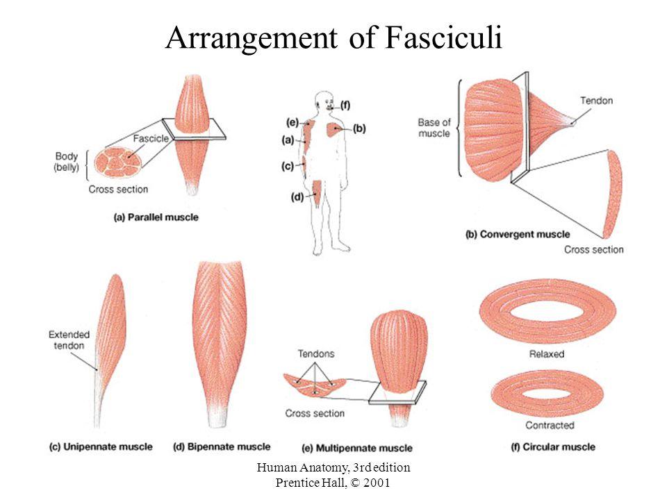 Arrangement of Fasciculi