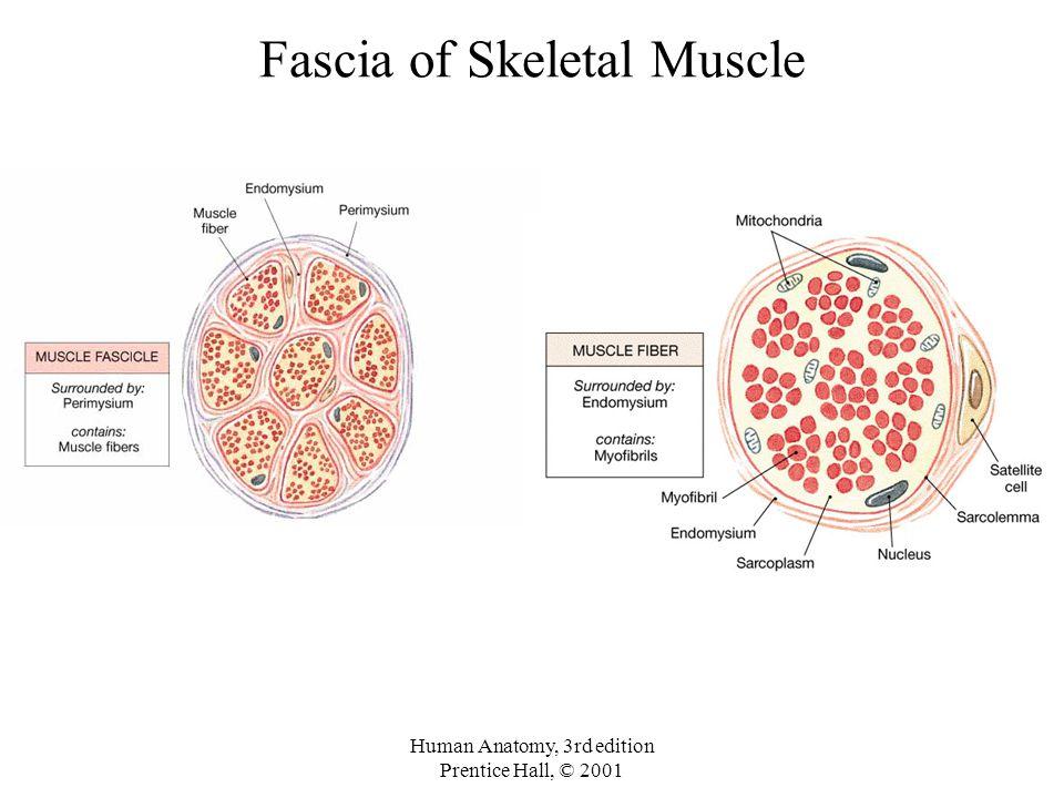 Fascia of Skeletal Muscle