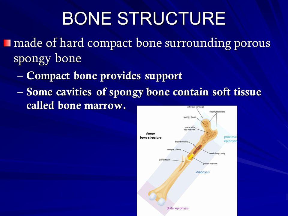 BONE STRUCTURE made of hard compact bone surrounding porous spongy bone. Compact bone provides support.