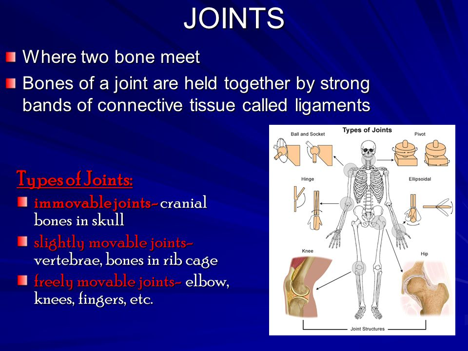JOINTS Types of Joints: Where two bone meet