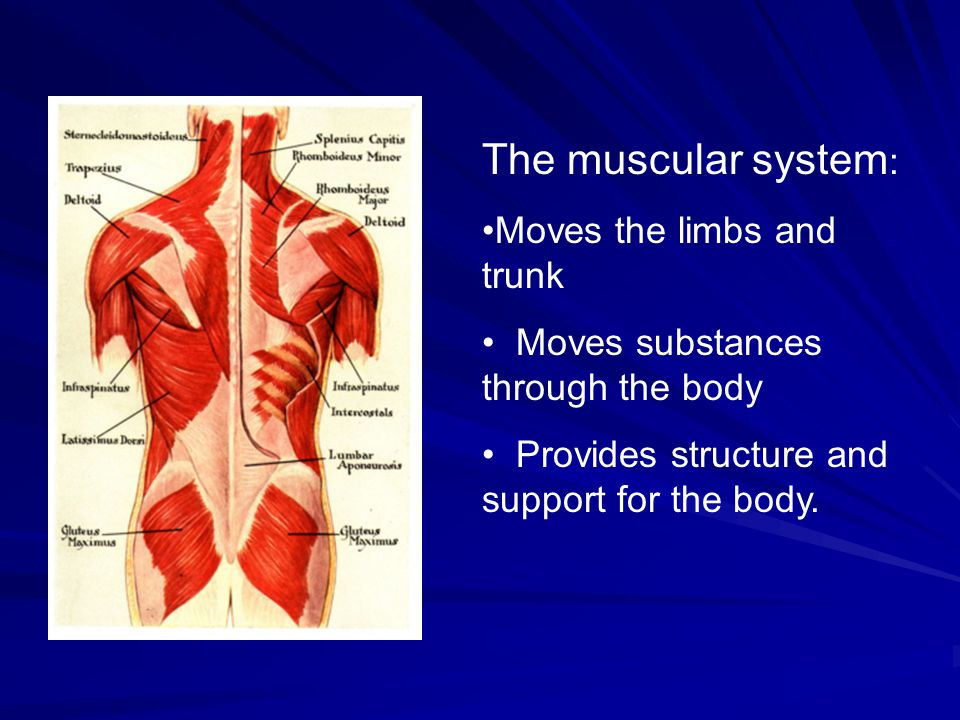 The muscular system: Moves the limbs and trunk