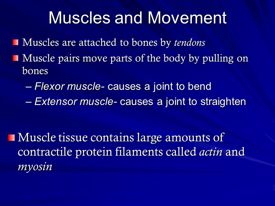 Muscles and Movement Muscles are attached to bones by tendons. Muscle pairs move parts of the body by pulling on bones.