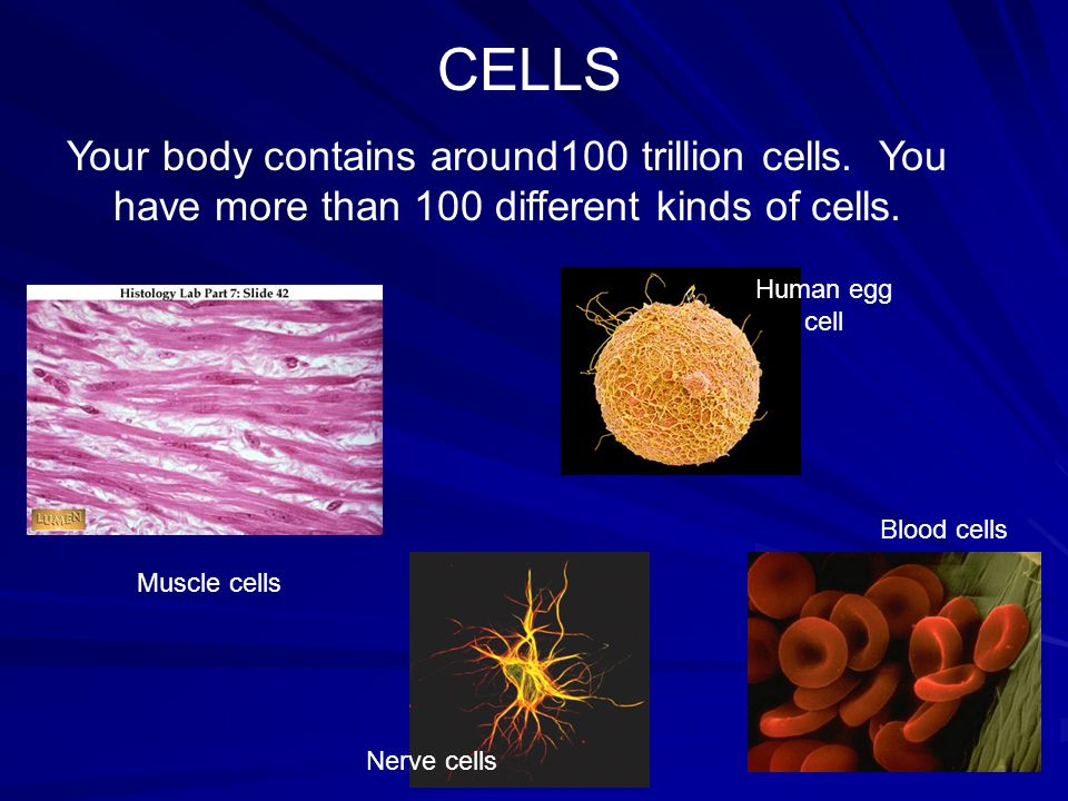 CELLS Your body contains around100 trillion cells. You have more than 100 different kinds of cells.