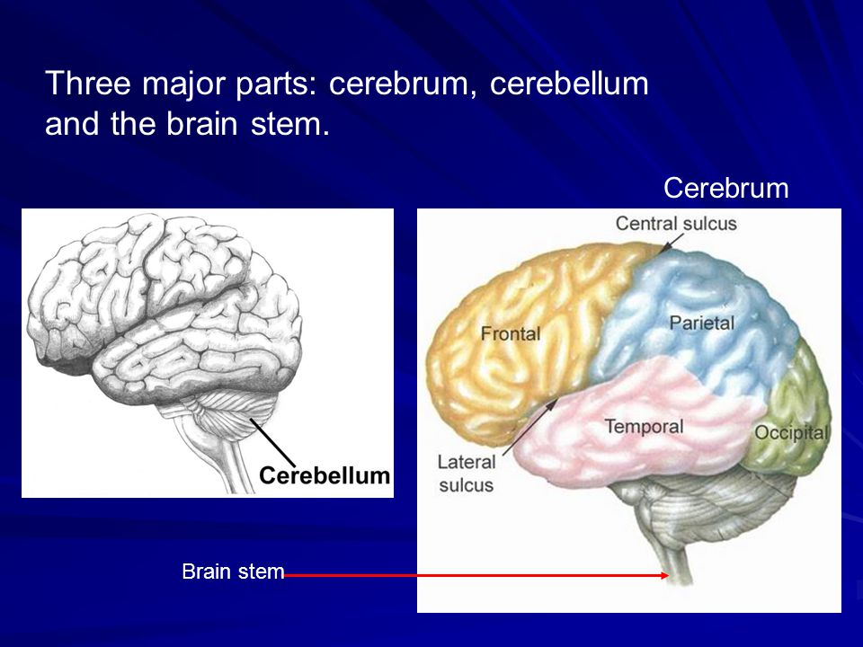 Three major parts: cerebrum, cerebellum and the brain stem.