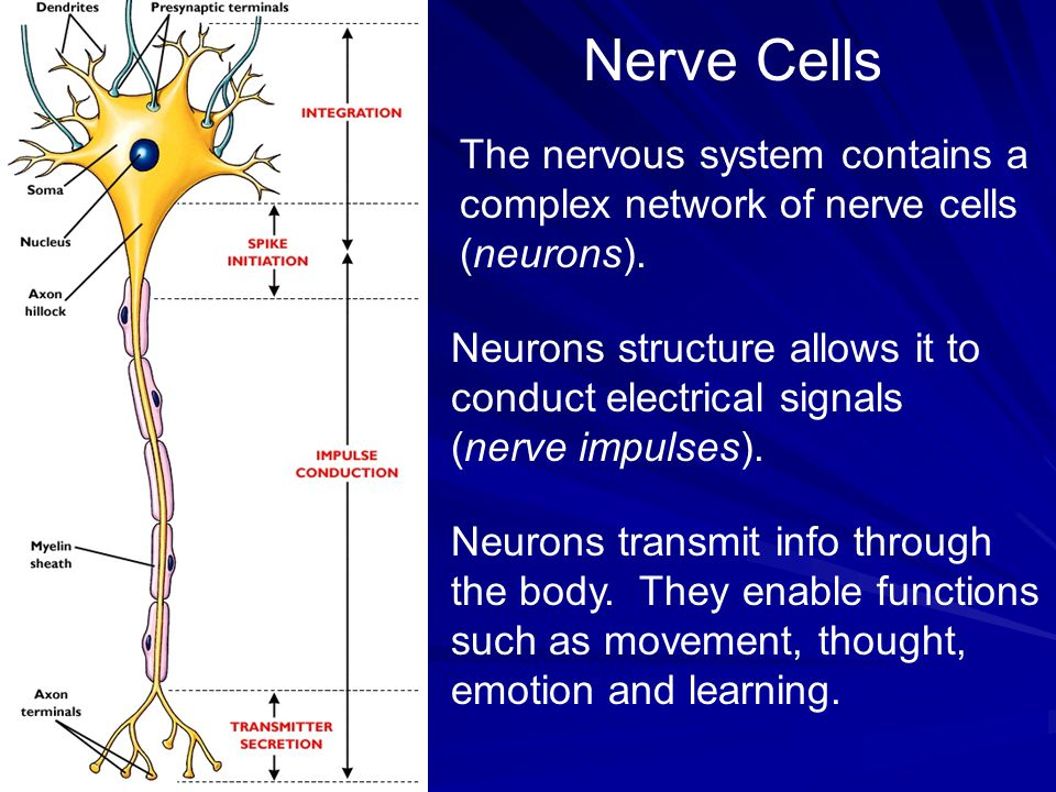 Nerve Cells The nervous system contains a complex network of nerve cells (neurons).