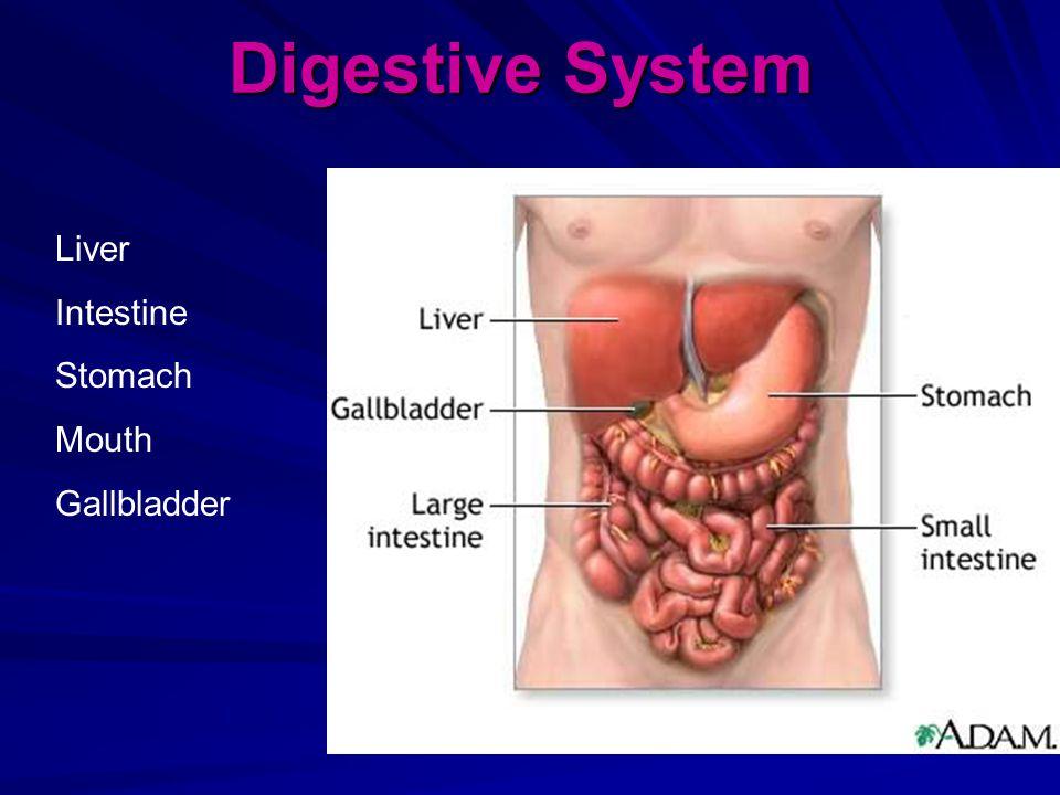 Digestive System Liver Intestine Stomach Mouth Gallbladder