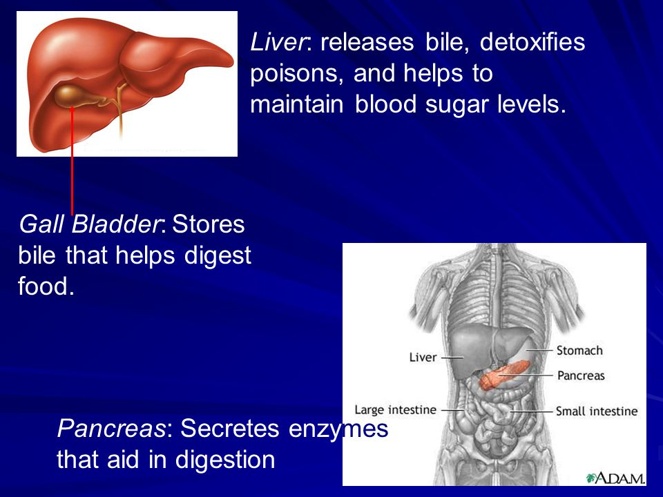 Liver: releases bile, detoxifies poisons, and helps to maintain blood sugar levels.