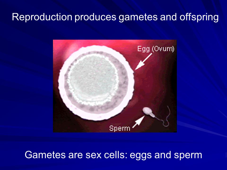 Reproduction produces gametes and offspring