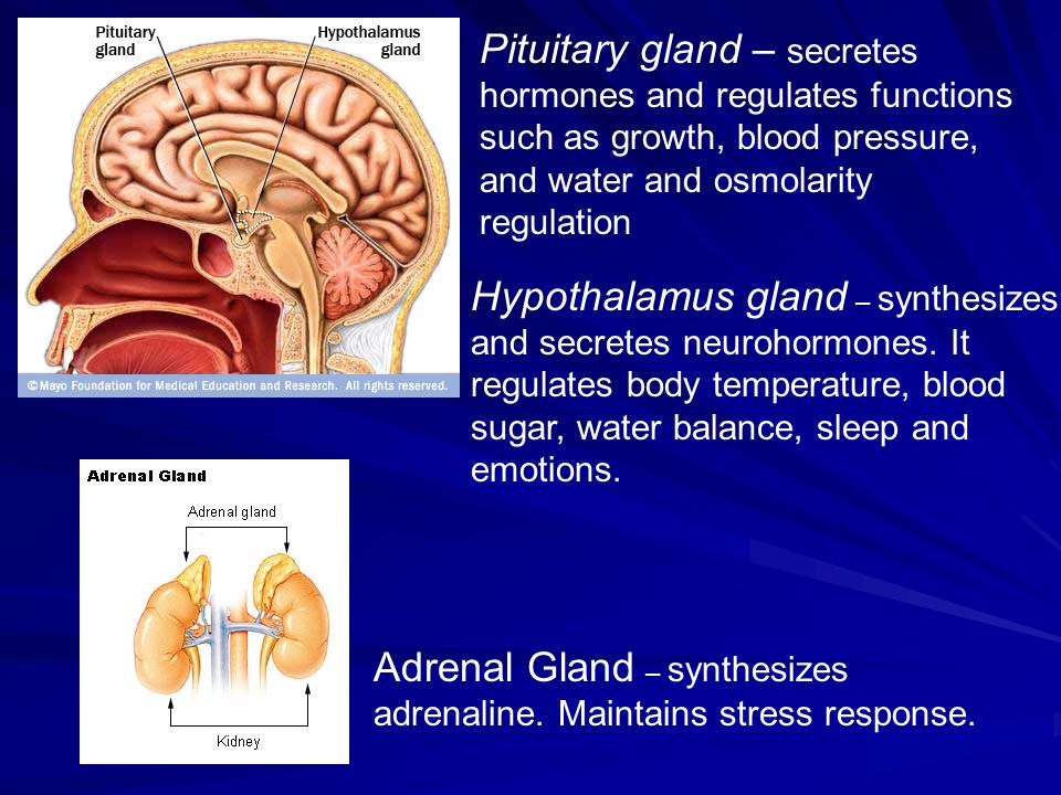 Pituitary gland – secretes hormones and regulates functions such as growth, blood pressure, and water and osmolarity regulation