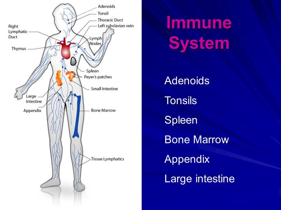 Immune System Adenoids Tonsils Spleen Bone Marrow Appendix