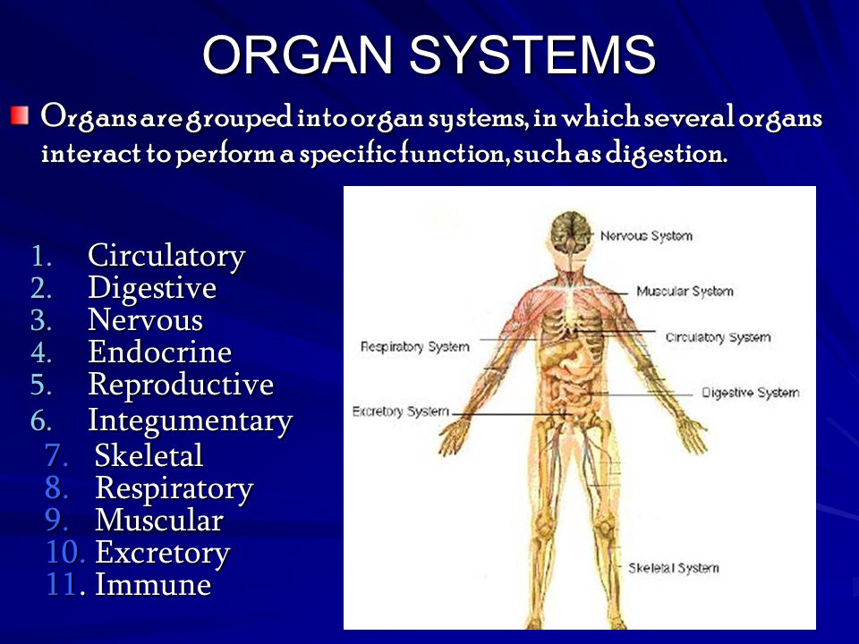 ORGAN SYSTEMS Organs are grouped into organ systems, in which several organs interact to perform a specific function, such as digestion.