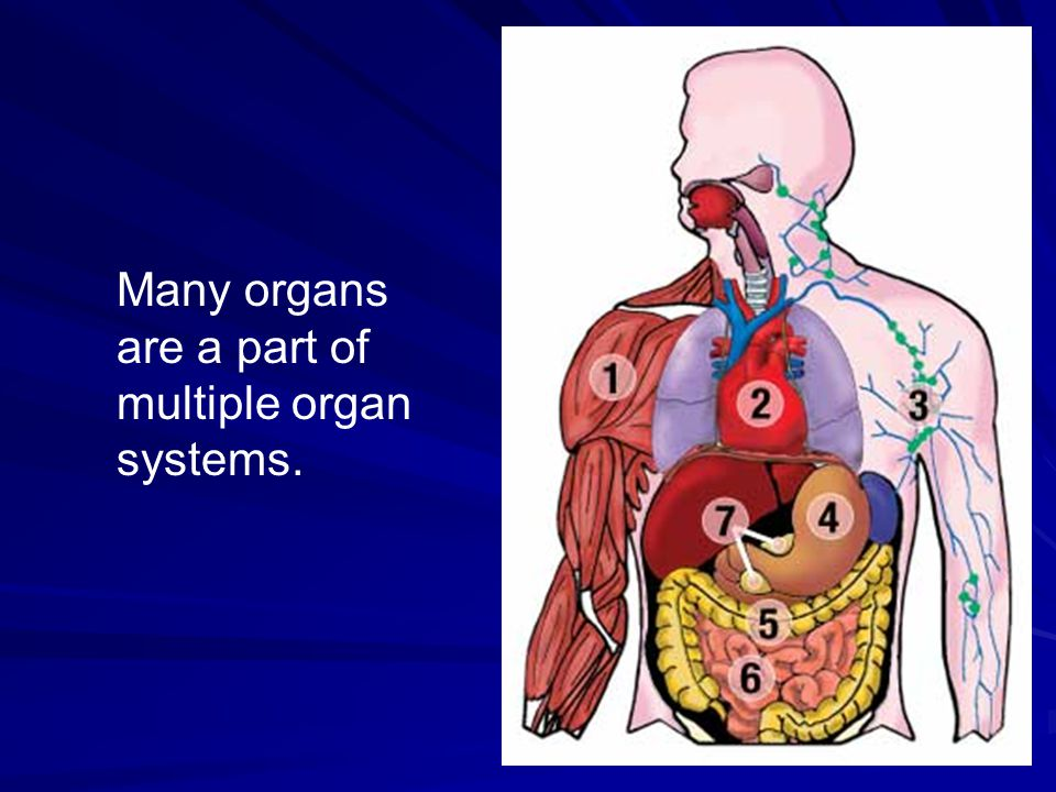 Many organs are a part of multiple organ systems.