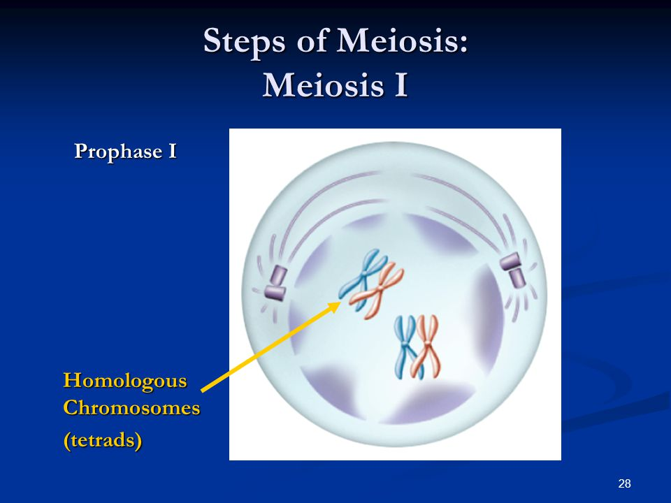 Steps of Meiosis: Meiosis I