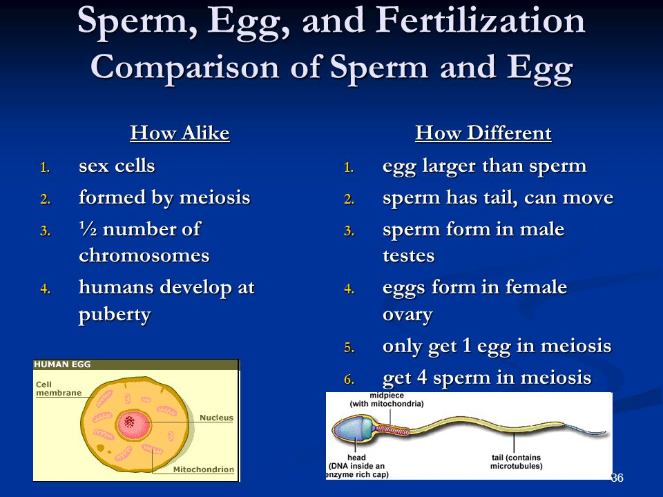 Sperm, Egg, and Fertilization Comparison of Sperm and Egg