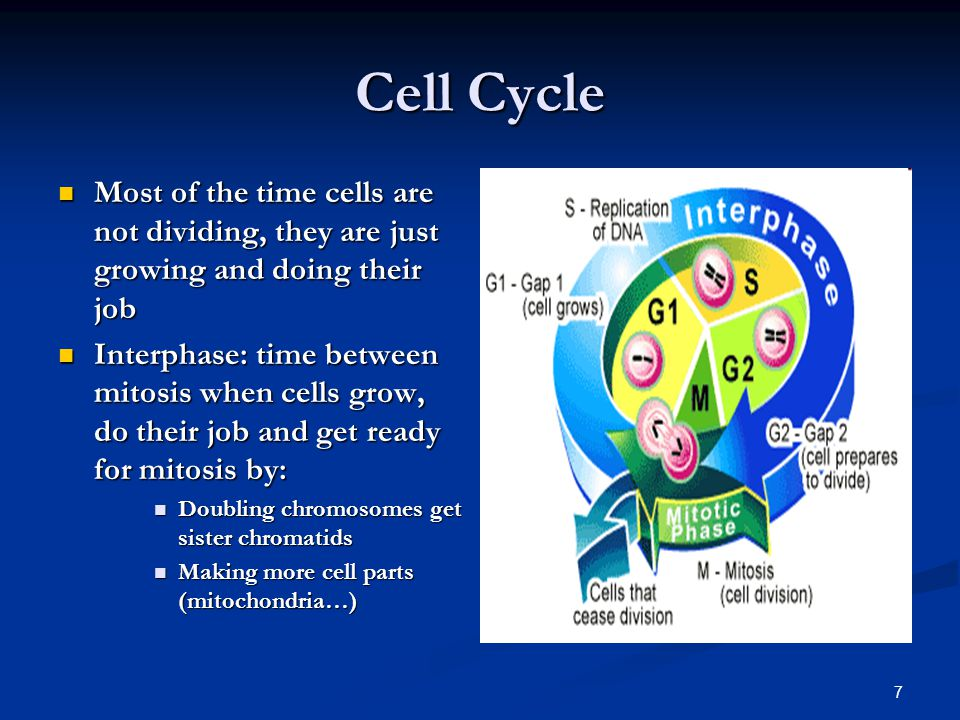 Cell Cycle Most of the time cells are not dividing, they are just growing and doing their job.