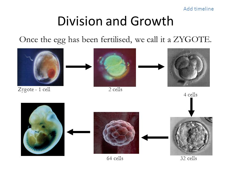 Once the egg has been fertilised, we call it a ZYGOTE.