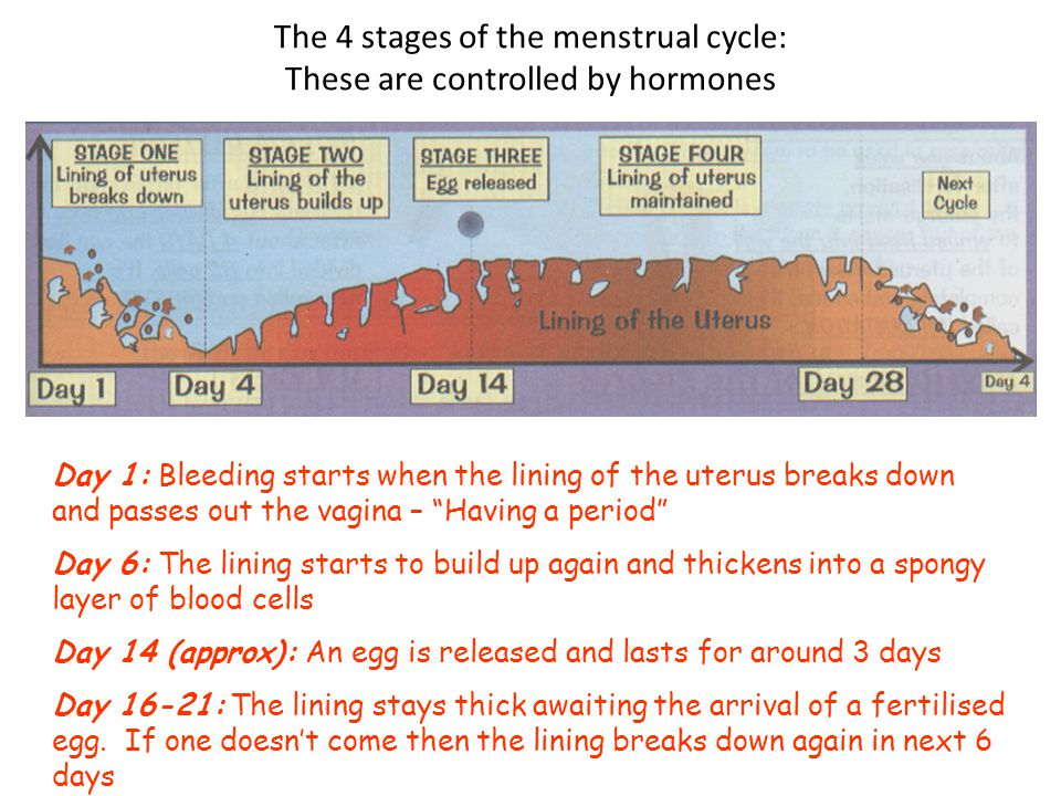 The 4 stages of the menstrual cycle: These are controlled by hormones