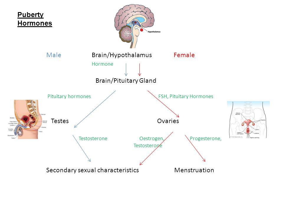 Male Brain/Hypothalamus Female Hormone Brain/Pituitary Gland