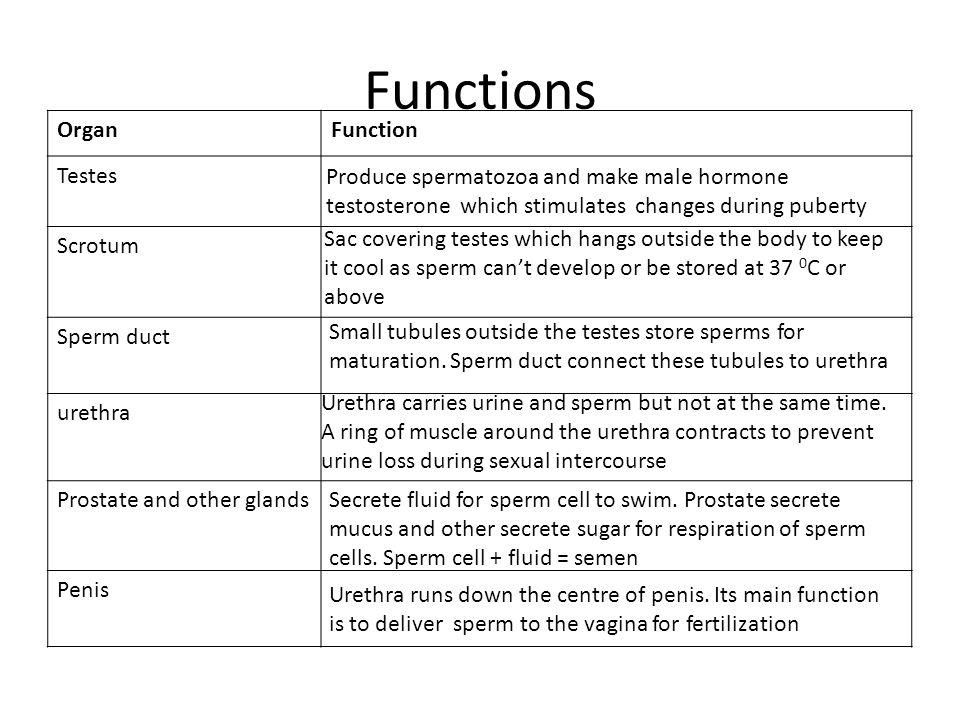 Functions Organ Function Testes Scrotum Sperm duct urethra
