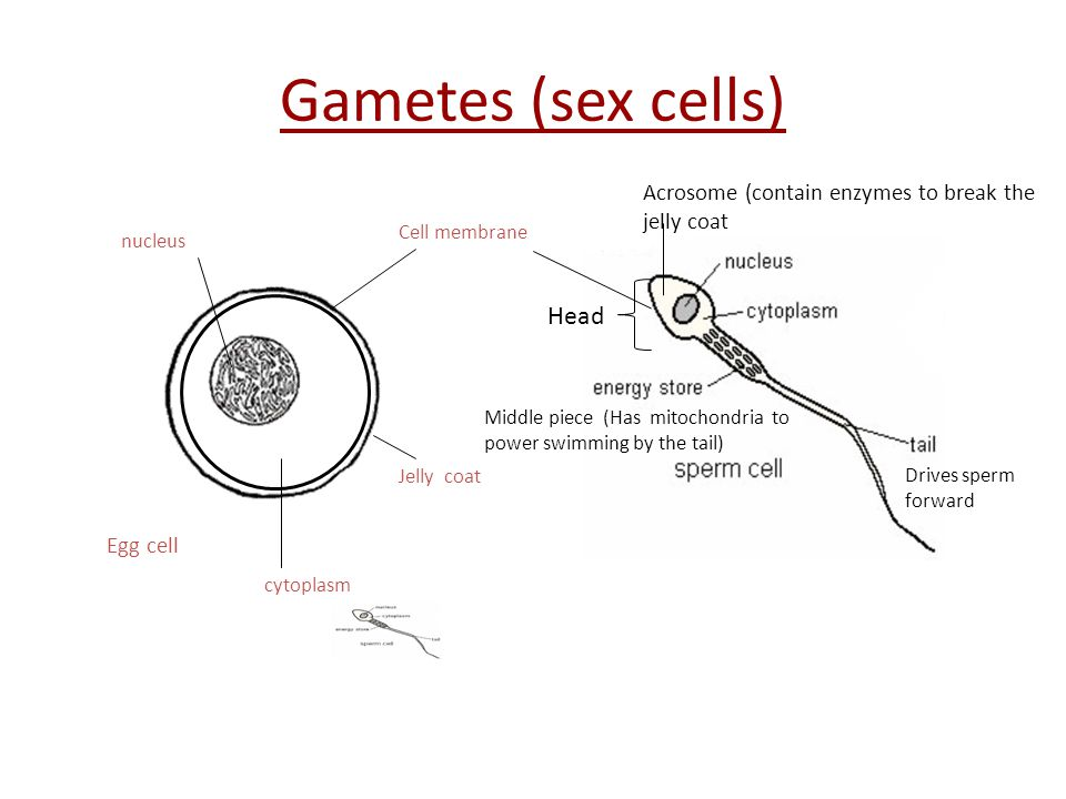 Gametes (sex cells) Head