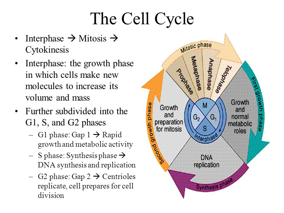 The Cell Cycle Interphase  Mitosis  Cytokinesis
