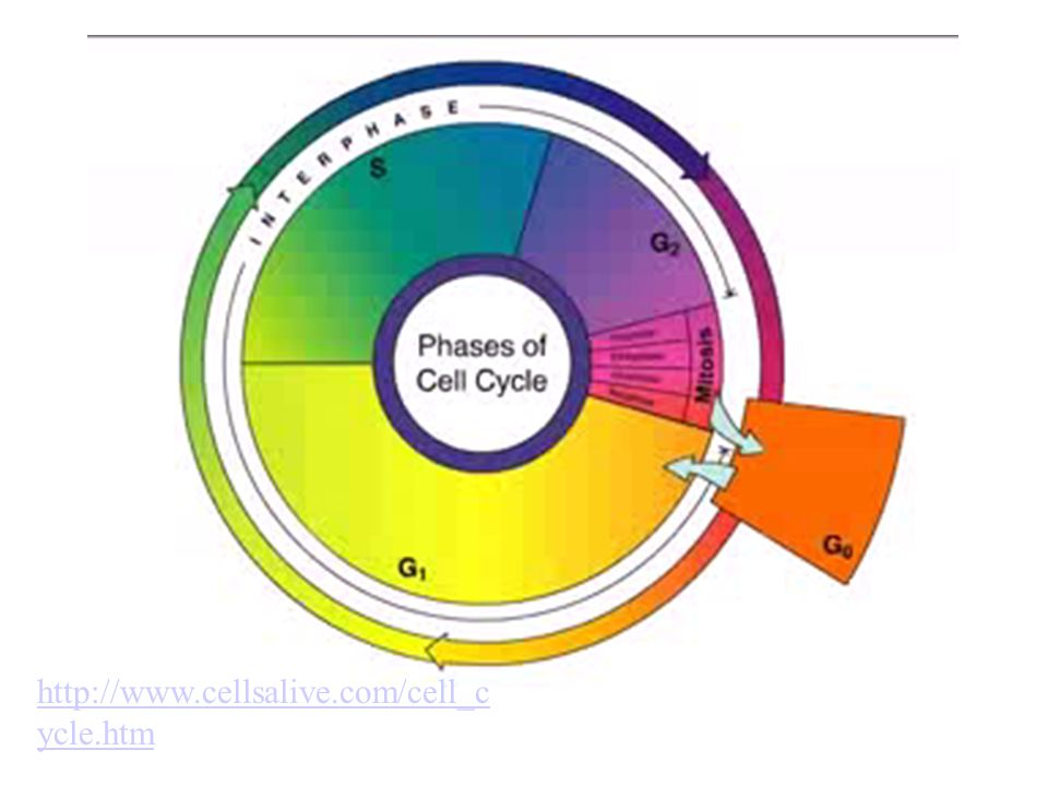 http://www.cellsalive.com/cell_cycle.htm