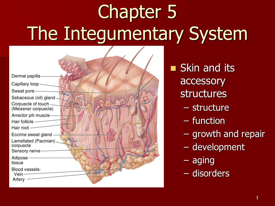 Chapter 5 The Integumentary System - ppt video online download