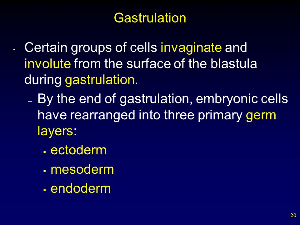Gastrulation Certain groups of cells invaginate and involute from the surface of the blastula during gastrulation.