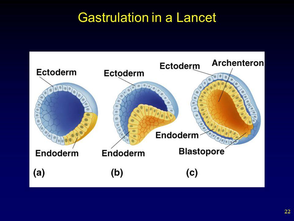 Gastrulation in a Lancet