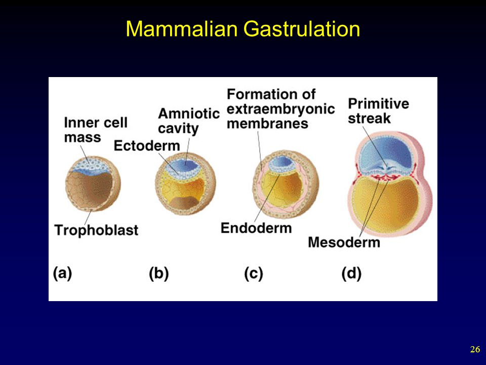 Mammalian Gastrulation