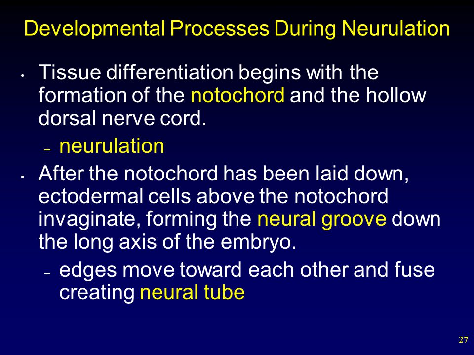 Developmental Processes During Neurulation