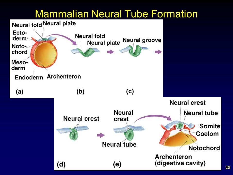 Mammalian Neural Tube Formation