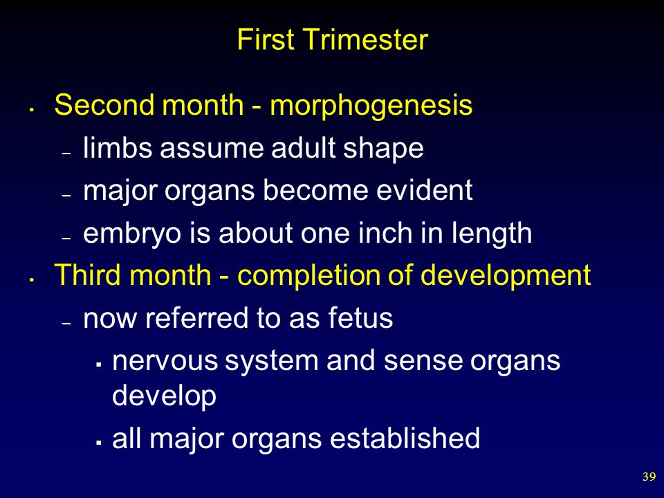 First Trimester Second month - morphogenesis. limbs assume adult shape. major organs become evident.