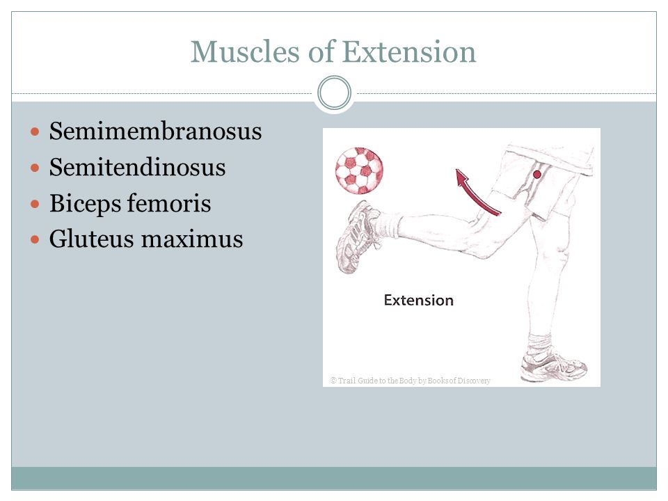 Muscles of Extension Semimembranosus Semitendinosus Biceps femoris