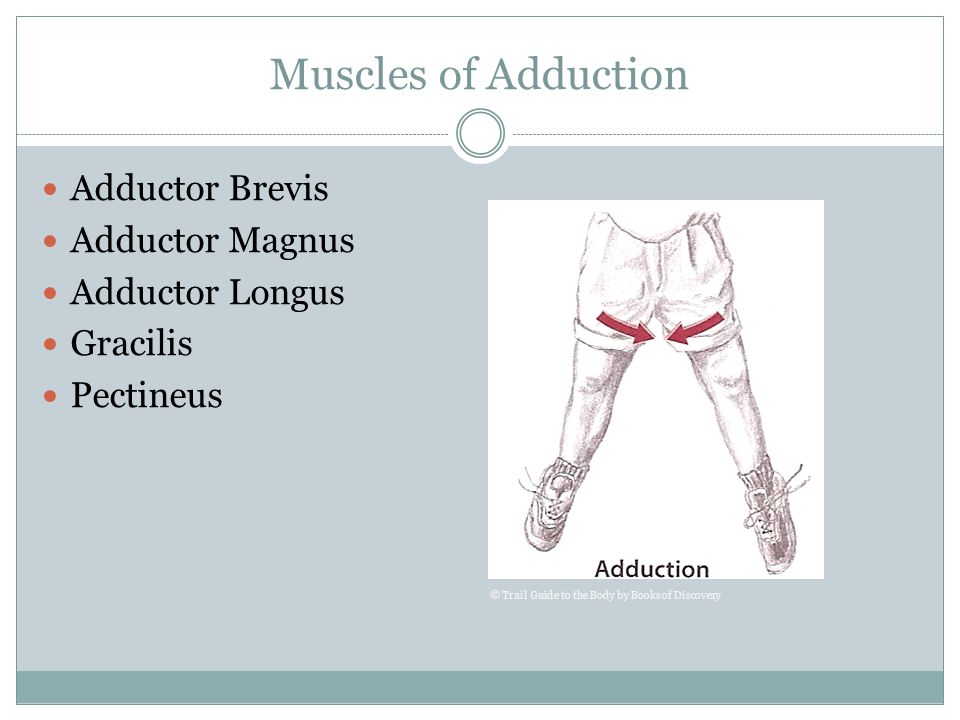 Muscles of Adduction Adductor Brevis Adductor Magnus Adductor Longus