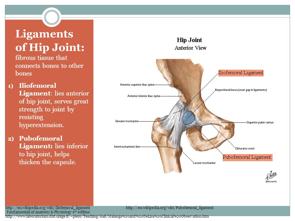 Ligaments of Hip Joint: fibrous tissue that connects bones to other bones