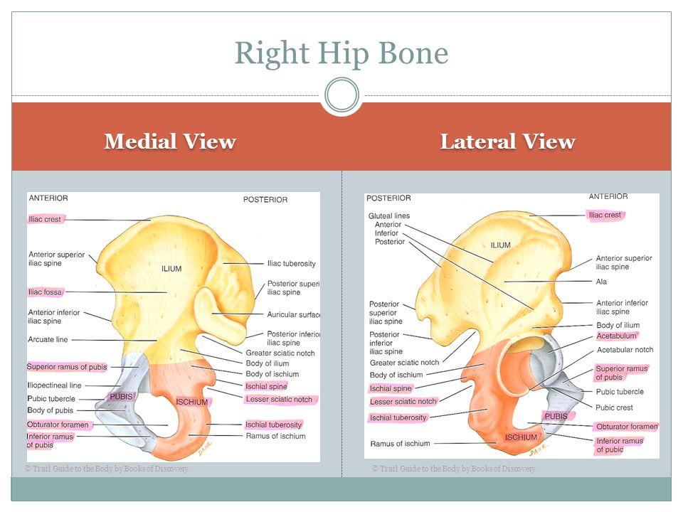 Right Hip Bone Medial View Lateral View
