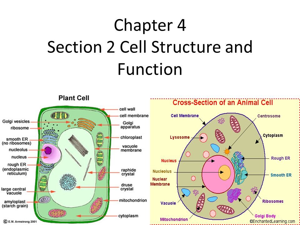 Chapter 4 Section 2 Cell Structure and Function