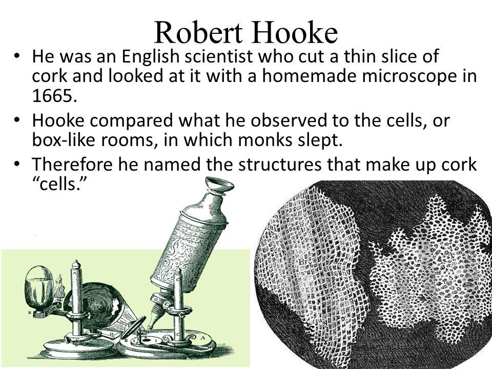 Robert Hooke He was an English scientist who cut a thin slice of cork and looked at it with a homemade microscope in 1665.