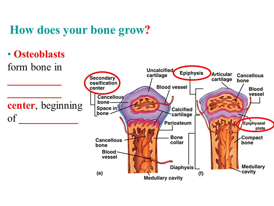 How does your bone grow.
