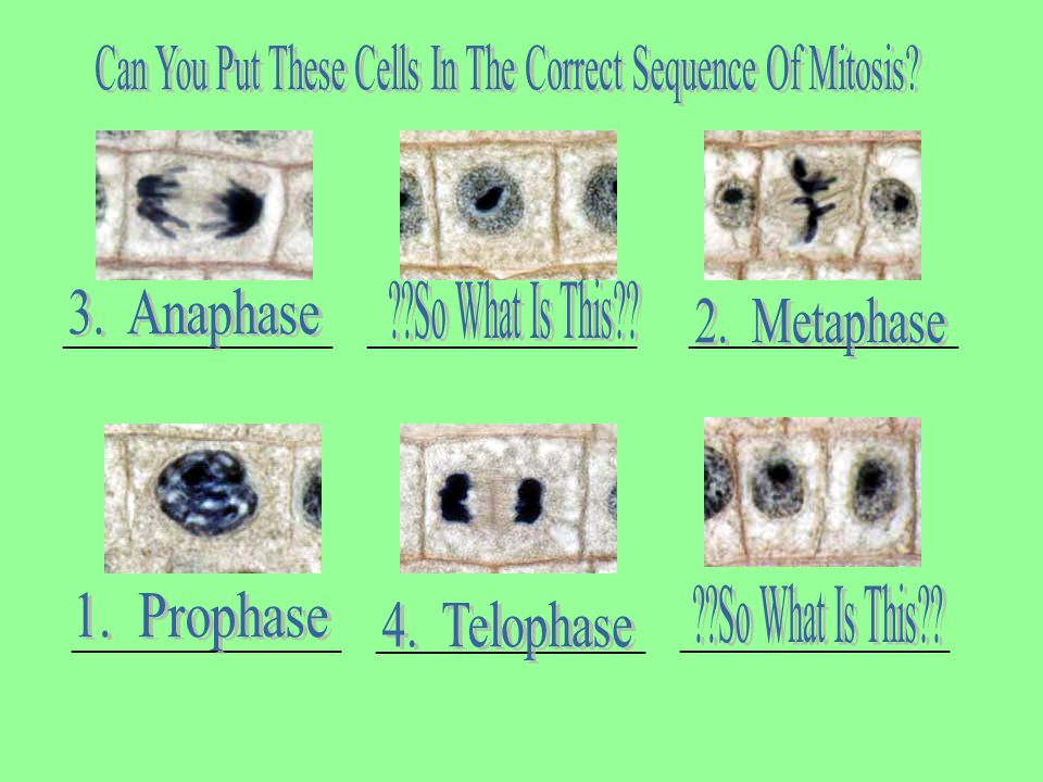 Can You Put These Cells In The Correct Sequence Of Mitosis