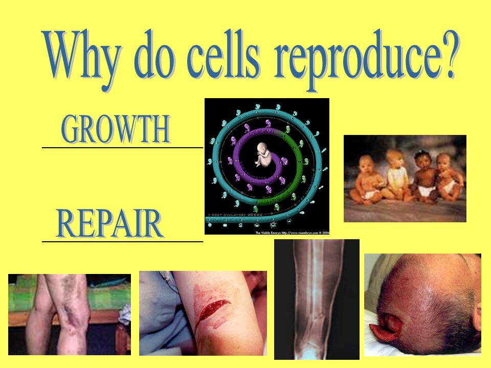 Why do cells reproduce GROWTH REPAIR ________________________