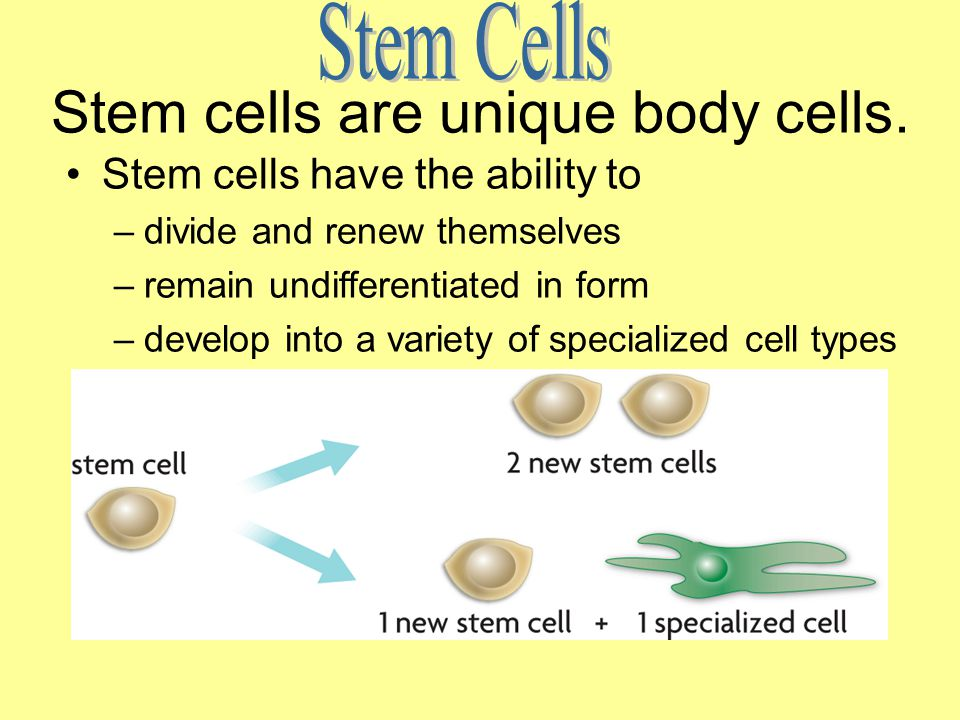 Stem cells are unique body cells.