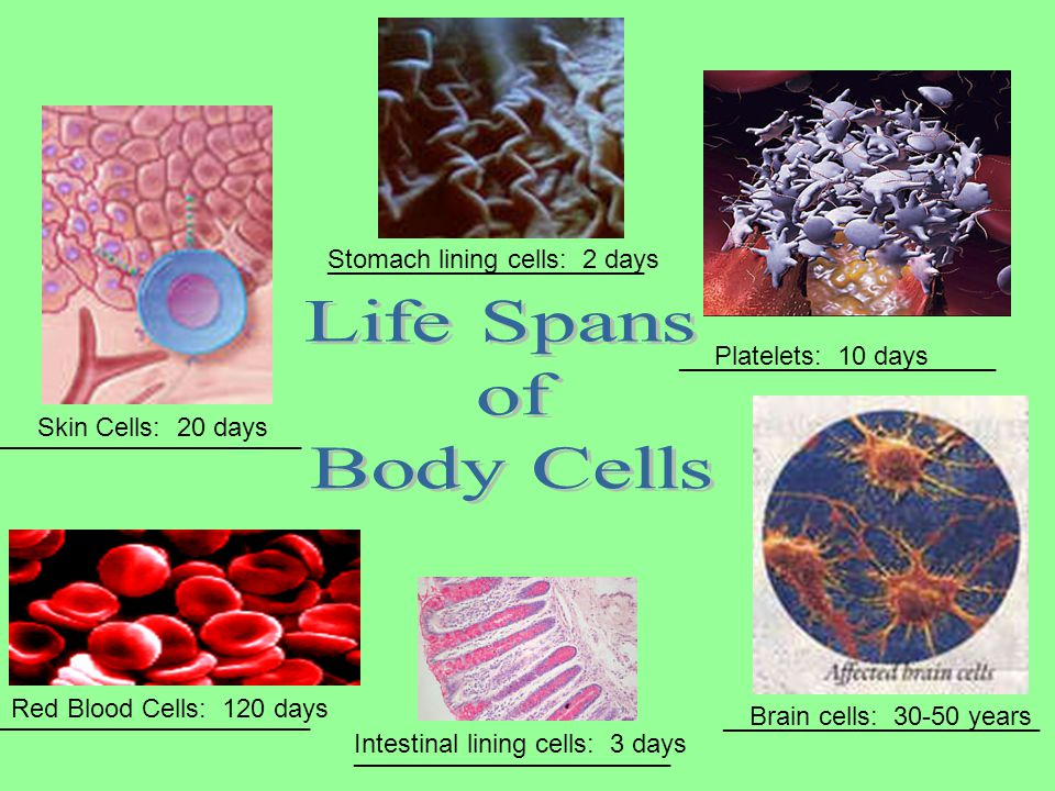 Life Spans of Body Cells ______________________