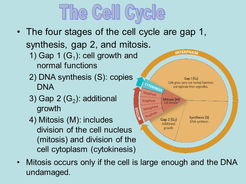 The Cell Cycle The four stages of the cell cycle are gap 1, synthesis, gap 2, and mitosis. 1) Gap 1 (G1): cell growth and normal functions.
