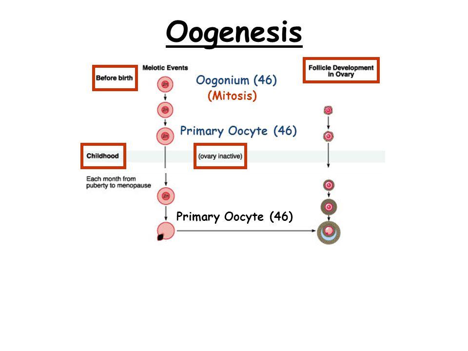 Oogenesis Oogonium (46) (Mitosis) Primary Oocyte (46)