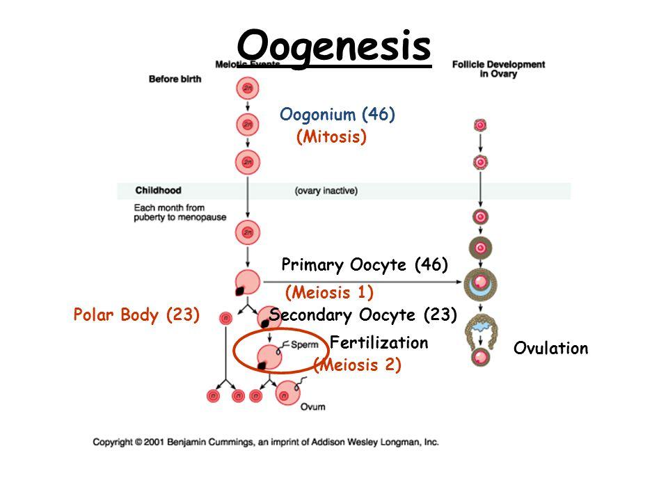 Oogenesis Oogonium (46) (Mitosis) Primary Oocyte (46) (Meiosis 1)
