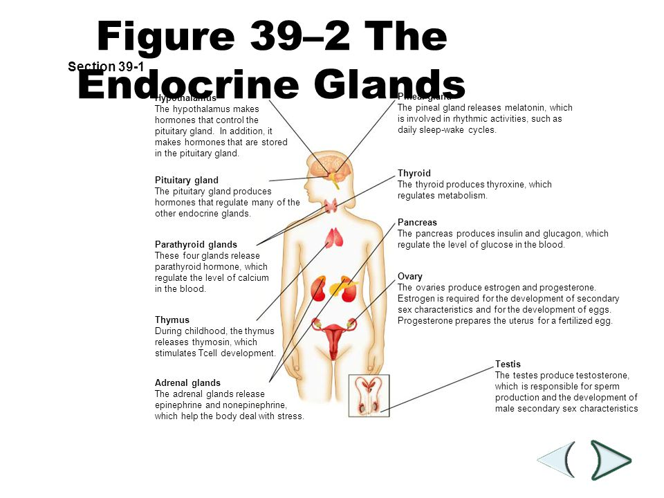 Figure 39–2 The Endocrine Glands
