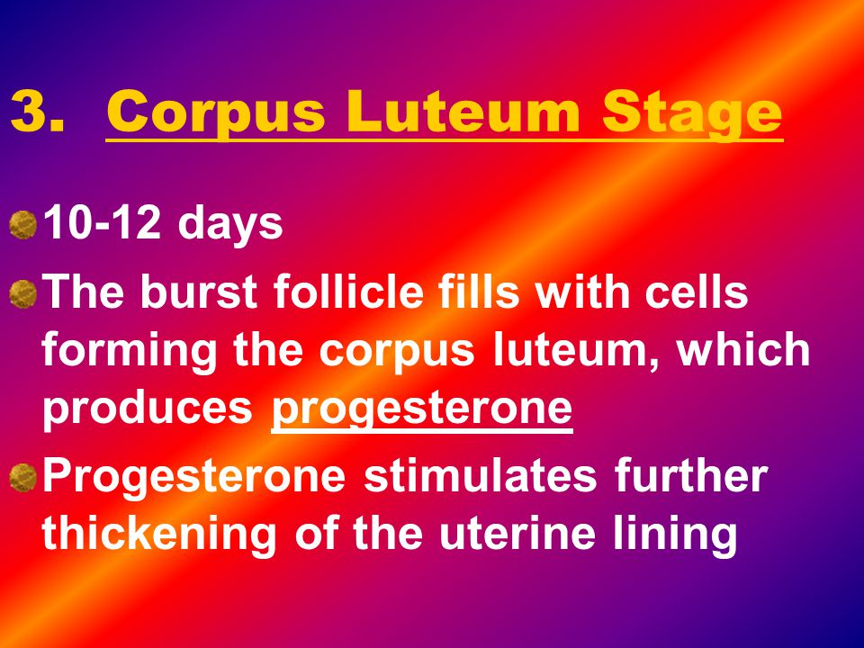 3. Corpus Luteum Stage 10-12 days