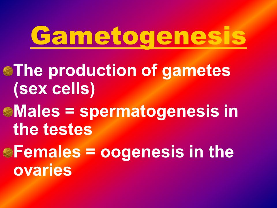 Gametogenesis The production of gametes (sex cells)